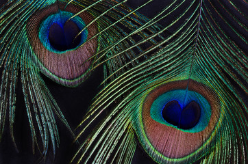 Two peacock feathers on a black background