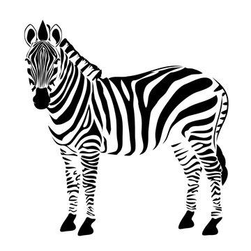 Zebra illustration vector
