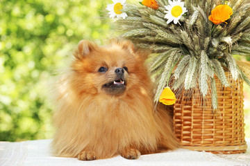 Cute and funny pomeranian spitz smiling on nature background