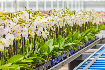 Orchids ready for export in a greenhouse