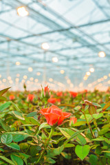 Red roses growing inside a greenhouse