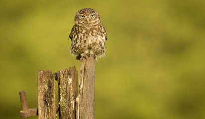 Poster - Little owl on an old post isolated against a yellow background