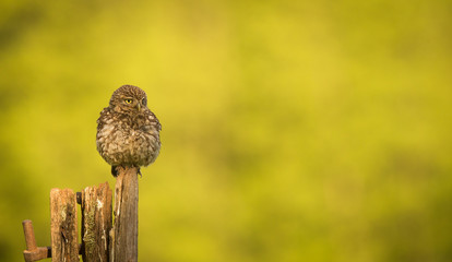 Fototapete - Little owl on an old post isolated against a yellow background