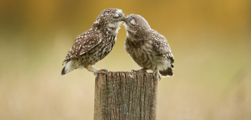 Wall Mural - Little owl kissing