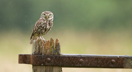 Wall Mural - Little owl looking grumpy in the rain