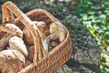 Forest idyll. Basket with mushrooms on a beautiful tree stump.