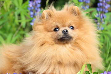 Lovely orange pomeranian dog in the summer flowers on nature background