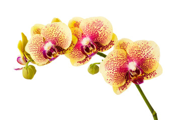 Orchid flowers isolated on white background.