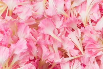 pink carnation flower petals background