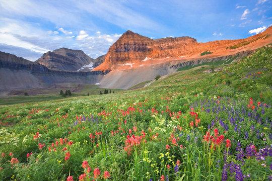 Colorful wildflowers on Mount Timpanogos, Utah, USA