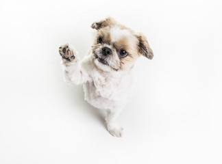 Lhasa Apso Dog over a white background