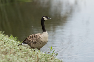 Canadian goose, Branta canadensis maxima, at the edge of a pond in spring