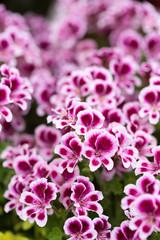 ゼラニュームの花