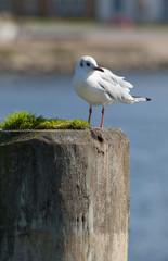 sea-gull on wooden bollard