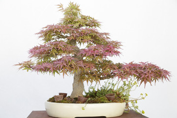 Japanese maple (Acer Palmatum) bonsai