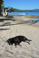 Labrador dog sleeping on sandy beach in Costa Rica