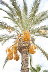 palm tree with dates