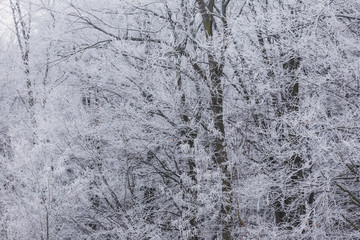 branches covered with hoarfrost