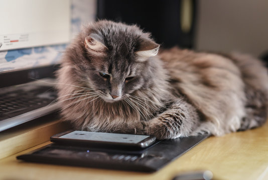 Fluffy cat watching at the smartphone screen