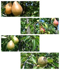 Photo mosaic/collage - pears in different stages of ripeness, in an orchard, on a sunny summer day. Concept of organic farming; healthy, unprocessed food. Original composition with white copy space.