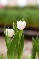 Beautiful white tulip in garden