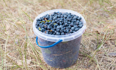Fresh picked organic blueberries  in the bucket
