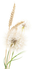 Wheat and dandelions.