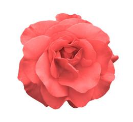 Acid rose rose flower macro isolated on white