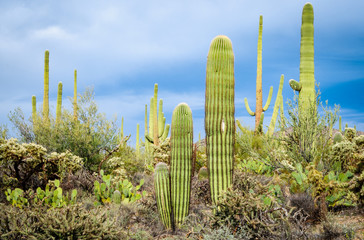 Vegetation at Saguaro National Park