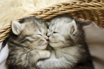 Cute tabby kittens sleeping and hugging