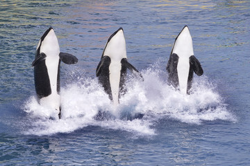 Wall Mural - Killer whales jumping out of water