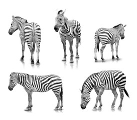 Zebras in many angle and poses, isolated in white background