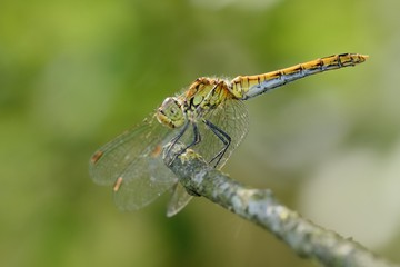 Printed roller blinds Butterfly Sympetrum sanguineum, female