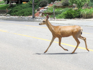 Female mule deer crossing a road in a residential neighborhood