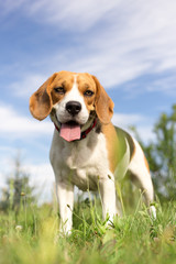 Beagle dog - vertical photo portrait