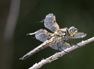Four-spotted Skimmer Dragonfly on Branch (Libellula quadrimacula)
