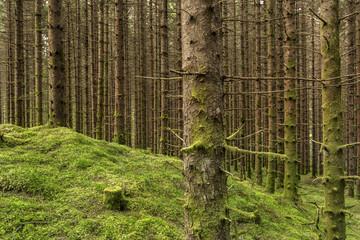 im Wald Nadelbaum mit Flechten