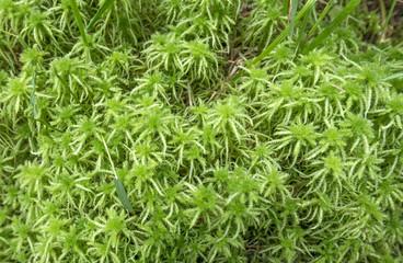 moos Sphagnum - peat