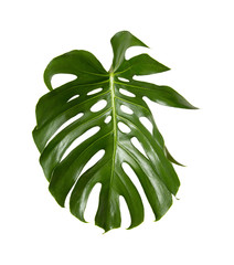 large green shiny leaf of monstera