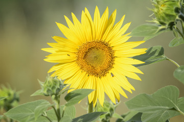sunflower isolated from the field