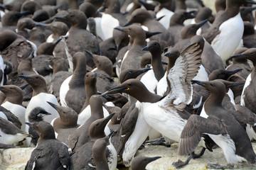 Guillemots, Farne Islands Nature Reserve, England