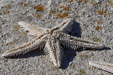 Small dried starfish lying on concrete molo, moss in background
