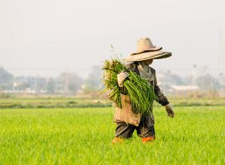 crop rice baby