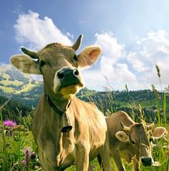 Glückliche Schweizer Kühe, artgerechte Haltung :)