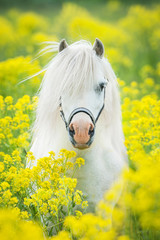 White shetland pony on the field with yellow flowers