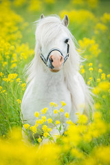Fototapete - White shetland pony running on the field with yellow flowers