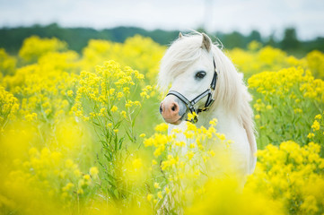 Wall Mural - White shetland pony on the field with yellow flowers