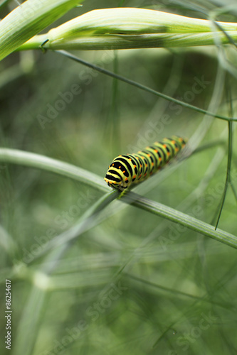 "Chenille Caterpillar Papillon chenille de papillon"" stock photo and royalty-free images on fotolia"