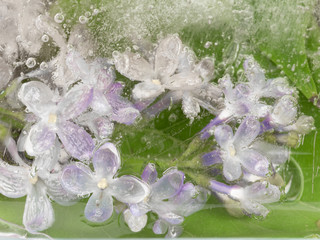purple lilacs in the ice