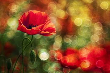 Beautiful abstract wild poppy